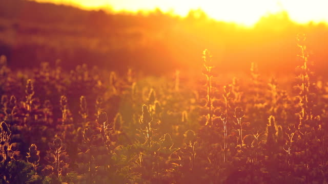 Field of Lupine Flowers with Golden Light video