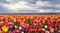 HD field of multi colored tulips video