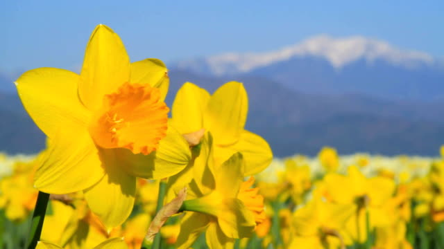 Field of narcissus. video