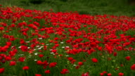 Field of Poppies, Tuscany, Italy in Springtime video