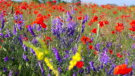 A Field of Poppies video