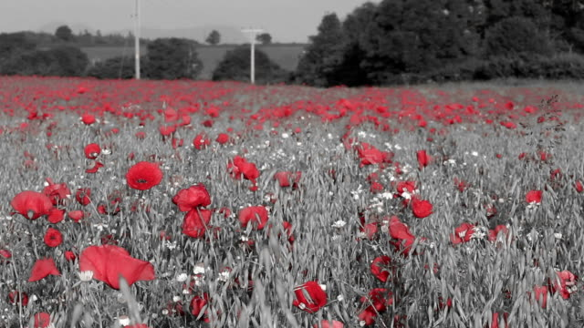 Field Of Poppies video