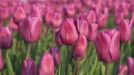 Field of purple tulips video