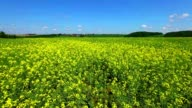 field of rapeseed plant for green energy video
