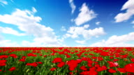field of red poppies and cloudy sky video