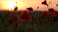 EDIT Field of red poppies at sunset on wind video