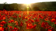 Field of red poppies at sunset video