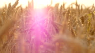Field of ripe wheat at sunset. Golden wheat in summer at sunrise. Golden ripe ears of wheat against the sky. Organic food at farm video