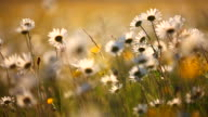 field of summer marguerites in dawn, bavaria, germany video