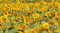 Field Of Sunflowers video