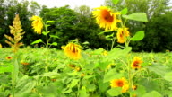 Field of sunflowers. video