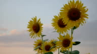 Field of sunflowers with sky video