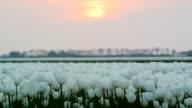 Field of Tulips sunset video