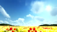 Field of Tulips, timelapse clouds, fly over video