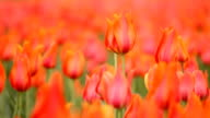 HD field of tulips video