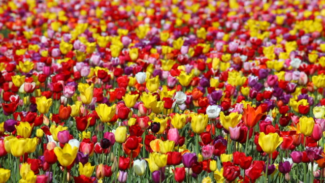 HD field of tulips video