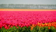 Field of Tulips video