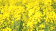 Field of waving yellow rapeseed flowers video