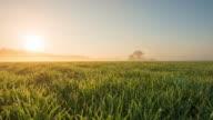8K T/L Field of wheat at sunrise video