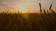 CS Field of wheat at sunset video