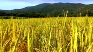 Field of wheat - Stock Video video