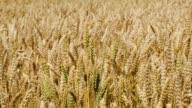 Field of wheat swinging in the wind video