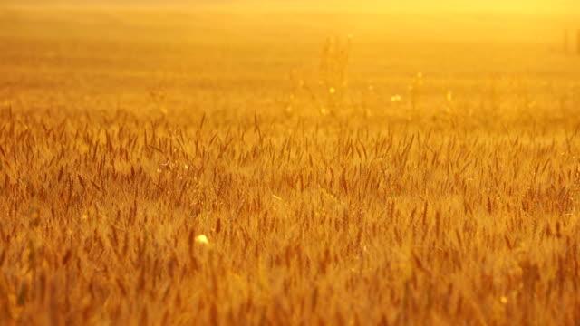 Field of wheat video
