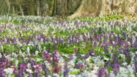 HD DOLLY: Field Of White and Violete Hyacinth video