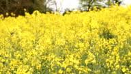 Field of yellow rapeseed flowers blooming video