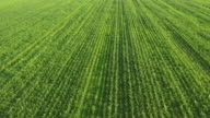 AERIAL Field of young corn plants video