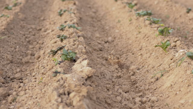 DS Field of young potato plants video