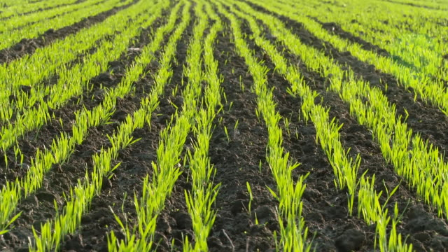 HD DOLLY: Field Of Young Wheat video