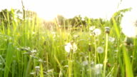 Field with Dandelions - shallow DOF video
