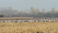 field with flying common cranes during autumn migration. Linum (Germany) video