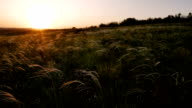 field with golden grass on sunset video