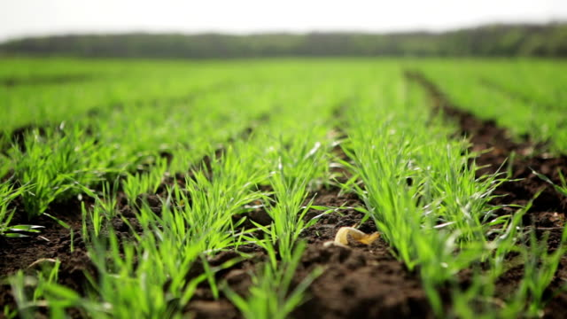 Field With Sprouted Barley video