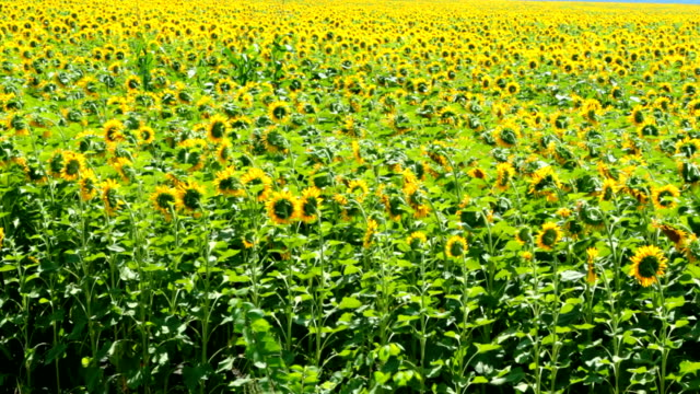 field with sunflowers video