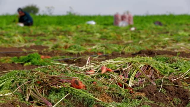 Field Work: Carrots video
