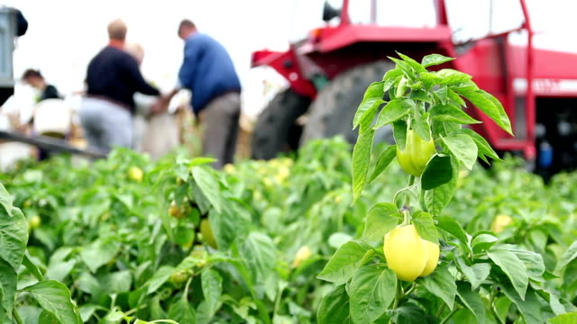 Field Workers Harvesting Yellow Bell Pepper video