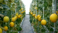 field yellow melons video