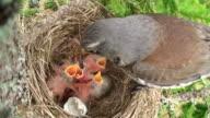 Fieldfare (Turdus pilaris) Bird Feeding the Chicks video
