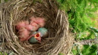 Fieldfare Chick Has Just Hatched video