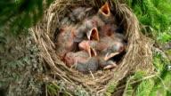 Fieldfare (Turdus pilaris) Chicks in the Nest video