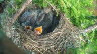 Fieldfare Chicks on the Nest video