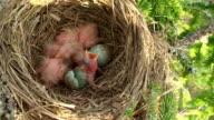 Fieldfare (Turdus pilaris) Nest video
