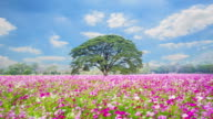 Fields Cosmos beautiful pink flowers in Nakhon Ratchasima, Thailand. video