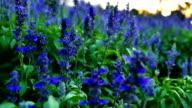 Fields of Blue Salvia flower in the evening light. video