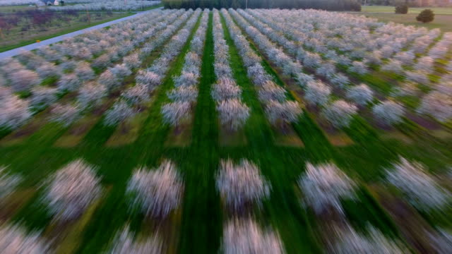 Fields of Cherry Trees in full blossom video