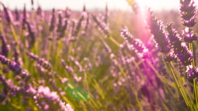 Fields of lavender dancing in the wind video