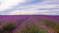 Fields of lavender video